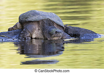 Large Common Snapping Turtle basking on a rock - Ontario,...