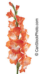 gladiolus - Studio Shot of Red and White Colored Gladiolus...