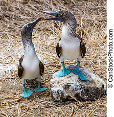 Blue Footed Boobies - Blue Footed Booby Mated Pair