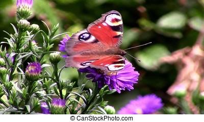 Butterfly on aster flower in the garden - macro