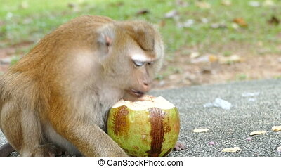 monkey eating coconut - cute monkey eating coconut in the...