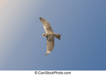 Sand Martin in flight, close up