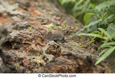 Vole on a log in a forest