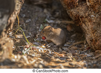 Vole on the forest floor eating