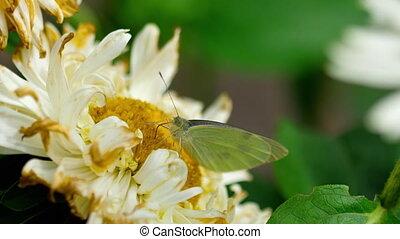 Pieris brassicae white butterfly - Pieris brassicae -Cabbage...