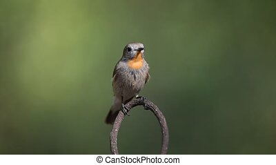 Bird (Red-throated Flycatcher) on a tree - Bird...