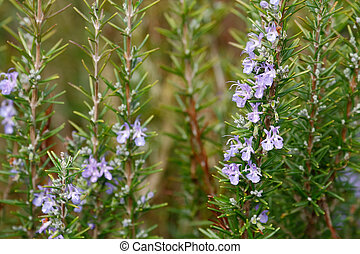 Rosemary with flower