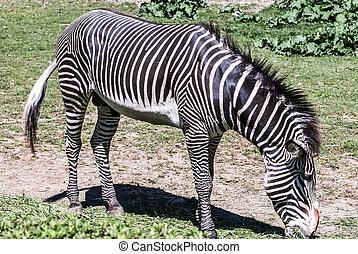 Grévy's zebra animals feeding on grass - Grévy's zebra (...