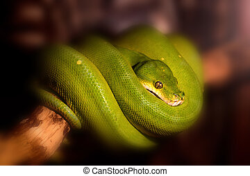 Green tree python or Morelia viridis on branch - Close up...