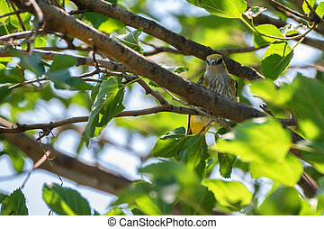 Young Eurasian Golden Oriole or Oriolus oriolus perches on...