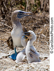 Blue Footed Booby Family - Blue Footed Booby With Newborn...