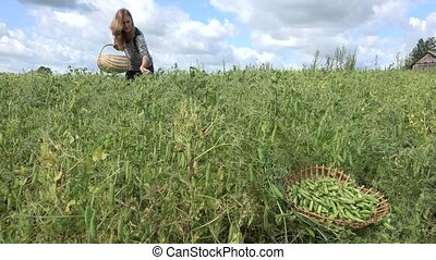 Villager worker woman with wicker basket gather harvest peas...