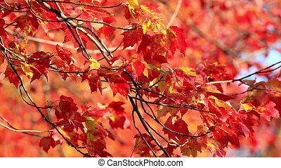Colorful Red and Yellow Autumn Foli