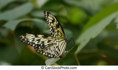 Black and white butterfly waves its wings on a tropical...