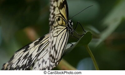 Black and white butterfly is on a tropical flower on a sunny...