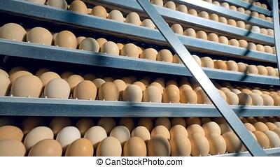 Many chicken eggs in incubator. Opened incubator with lots...