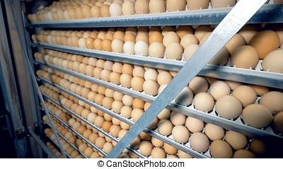 Chicken eggs on racks in incubator 4K. - Chicken eggs on...