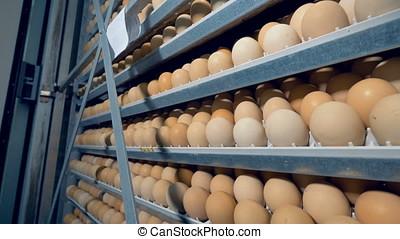 Eggs rack, eggs shelves in an incubator. 4K. - Eggs rack,...