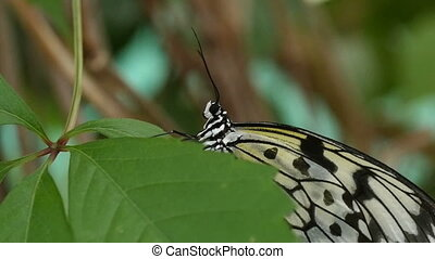 Black and white butterfly sits on a tropical flower on a...