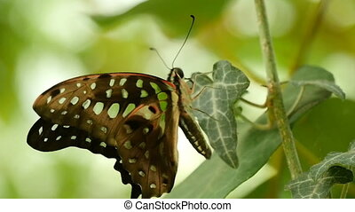 Black and white butterfly sits in profile on a tropical...