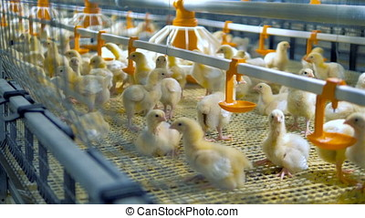 Chickens inside modern chicken farm. Modern poultry...