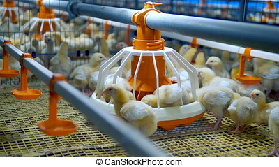 Chicken Farm, poultry equipment. Baby chicken at a poultry....
