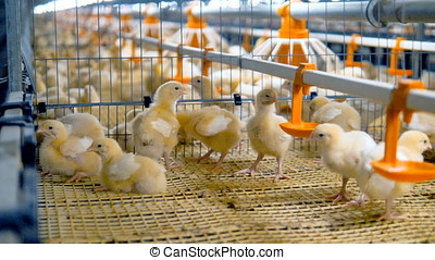 Baby chiken at a poultry. Chicken Farm, poultry equipment. -...