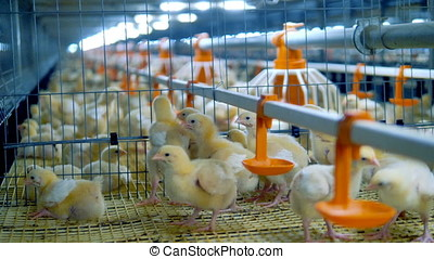 Poultry, chicken farm interior. Baby chicken in poultry...