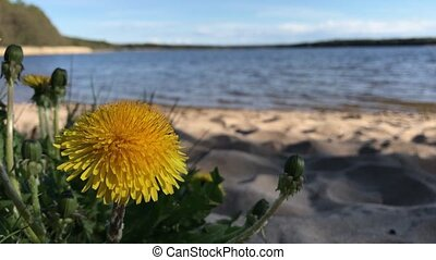 Dandelion on the shore of the lake