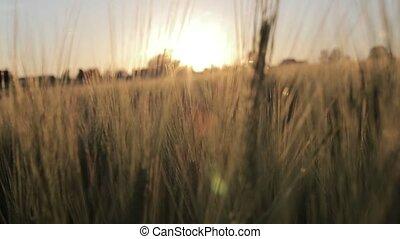 Field of barley In slow motion