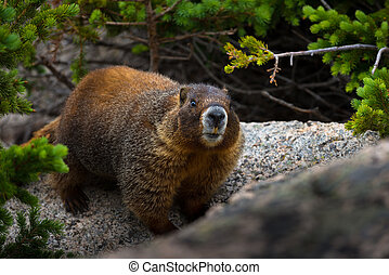 Marmot looks directly into the camera close-up