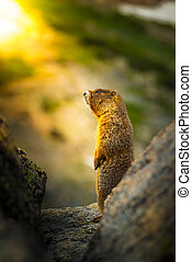 Yellow-bellied marmot at sunset - Yellow-bellied marmot...