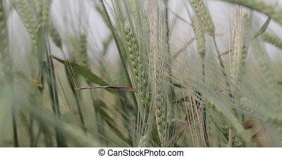 barley field green close-up