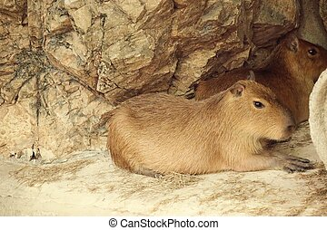 capybaras in the zoo