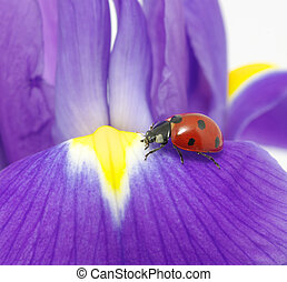 ladybug - The ladybug sits on a flower petal
