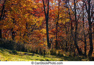 beautiful golden foliage on sunny day in forest. lovely...