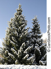 Beautiful fir tree - Shot of snow covered fir tree in...