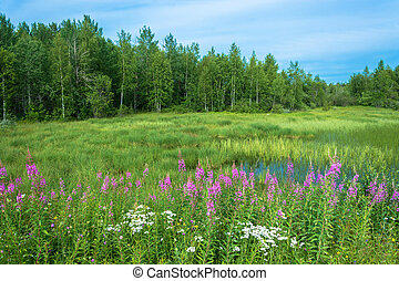 Thickets of blooming fireweed. - Thickets of blooming...