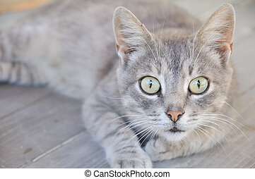 scared cat - gray cat on the wooden deck