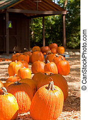Pumpkins in Front of Old Shed
