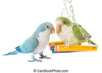 Monk parakeet in studio - Monk parakeet in front of white...