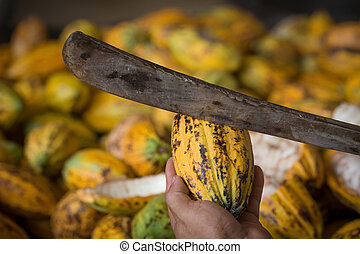 Cacao pod cut open to show cacao beans inside in Thailand.