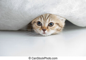 Funny cat under curtain - Funny cat under white curtain