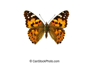 butterfly, in the white background