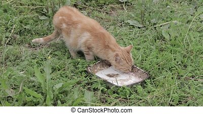 Red cat is eating