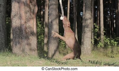 Pitbull and rope slow motion