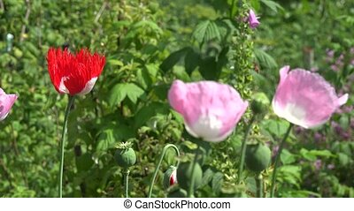 Decorative poppy flowers blooms move in wind in summer...