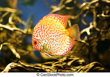 Discus Symphysodon spp. , freshwater fish native to the Amazon River