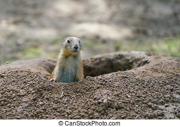 Watchful prairie dog in front of his burrow