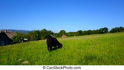 Cow Eating In Pasture - Beautiful Black Cow on green...